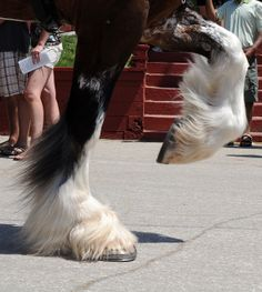 Clydesdale feathers in motion