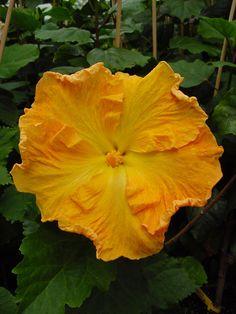 Tahitian Hibiscus 'Golden Boy'