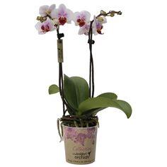 Little kolibri orchid bonaire Orchids, Lilies, Orchid