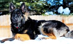 Long Haired German Shepherd Puppies for sale. We breed German Shepherd Puppies in Alaska where there is plenty of space for them to grow large and lovely! Long Haired German Shepherd, German Shepherd Breeders, Female German Shepherd, German Shepherds, Puppies For Sale, Cute Puppies, Cover Photos, Corgi, Long Hair Styles