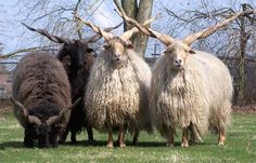 Rackaschaap ~ I have never seen these type of rams or sheep or whatever species they are...