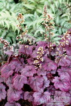 Heuchera 'Plum Royale' - 'Plum Royale' is the first Heuchera to have amazing, shiny purple leaves all summer. The white flowers contrast beautifully with the dark stems. Winter color is a glossy silver purple. Wonderful as an accent or en masse.