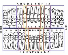 Tooth charts mersnoforum tooth charts ccuart Gallery