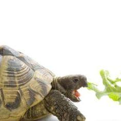 The tortoise enjoys spending its days nibbling on garden plants.