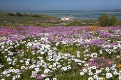 Langebaan Flower Season Provinces Of South Africa, Beautiful Places, Amazing Places, Nature Reserve, West Coast, Wild Flowers, Places To Travel, The Good Place, Around The Worlds