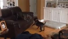 Playful dog gets the zoomies and flies around house (VIDEO) » DogHeirs | Where Dogs Are Family « Keywords: bouncy, couch, zoomies