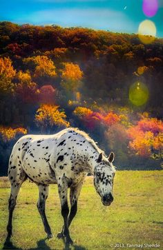 The Autumn Horse by Tanmay Shende | 500px || black leopard Appaloosa walking More