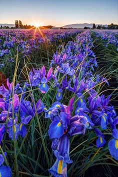 Iris fields in Washington -one of my favorite flowers. Reminds me of spring in Williamsburg, VA. 2014 Beverly