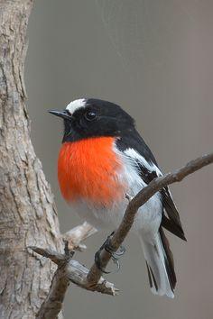 Scarlet Robin, male. | Flickr - Photo Sharing!