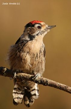 Lesser Spotted Woodpecker Dendrocopos minor - Google Search