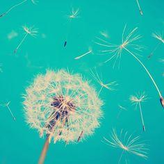 Dandelion screen saver