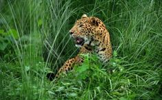 Five dead as man-eating leopard stalks Nepal village