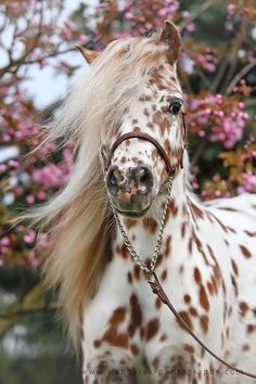 Tolle Ideen Inspirationen Deco und Diy findet Ihr Tolle Ideen Inspirationen Deco und Diy findet Ihr - Art Of Equitation Caballos Appaloosa, Appaloosa Horses, Most Beautiful Horses, All The Pretty Horses, Cute Horses, Horse Love, Horse Photos, Horse Pictures, Beautiful Creatures