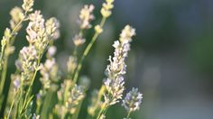 Growing Lavender, Herbs, Plants, Herb, Plant, Planets, Medicinal Plants