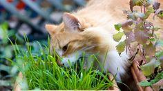 Come usare l'erba gatta