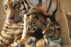 Mama tiger and her cubs.