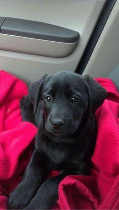 Beautiful black lab puppy! Love him!!