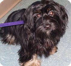 Orlando, FL - Shih Tzu/Dachshund Mix. Meet Meg, a puppy for adoption. http://www.adoptapet.com/pet/13853643-orlando-florida-shih-tzu-mix