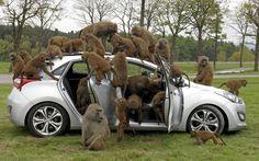 Baboons climb on a Hyundai i30 hatchback at Knowsley Safari Park, in Preston, Merseyside May 1, 2012. REUTERS