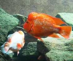1000 images about peacock bass on pinterest cichlids for Red devil fish for sale