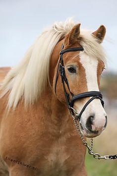 Haflinger Cute Horses, Beautiful Horses, Animals Beautiful, Haflinger Horse, Fjord Horse, Palomino, Horse Saddles, Donkeys, Bushcraft
