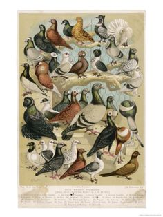lovely Fancy Pigeon Breeds Poster available in 6 sizes at http://www.allposters.co.uk/-sp/Fancy-Pigeon-Breeds-Posters_i1870752_.htm#