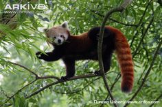 Red panda in tree, captive - loving these guys, after all the press with the escapee