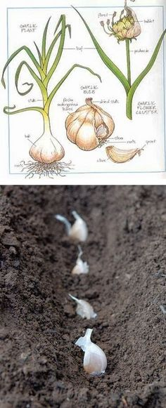 how to grow ginger from ginger photo tutorial self explanatory grow ginger from. Black Bedroom Furniture Sets. Home Design Ideas