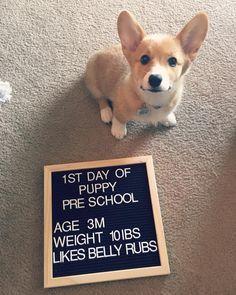 Back To School With Cute Corgi Puppy Cute Corgi Cute Dogs Puppies