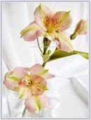Альстромерия. МК+Анатомия цветка...