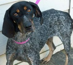 MollyBlue! 4 year old, female, Coonhound mix - Hearworm positive