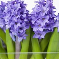 1000 Images About Gardening Tulips On Pinterest Bulbs