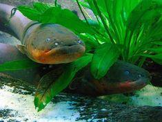 http://i1.wp.com/listverse.com/wp-content/uploads/2012/09/electric-eel-1.jpg?resize=550%2C412
