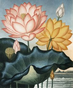 Sacred Lotus (pink) with American Lotus or Water-lily (yellow) by Peter Henderson, from Robert Thornton, The Temple of Flora, 1807.