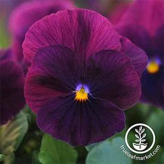 The popping hues of winter pansies are a must-have flower for fall, winter, and spring blooming. Click and read to learn all you need to know about pansies. Yellow Flowers, Colorful Flowers, Pink Roses, Winter Pansies, Hardening Off Seedlings, Daffodil Flower, Cactus Flower, Peonies Garden, Flowers Garden