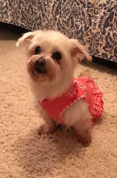 Meet Bunny, an adopted Poodle Mix Dog, from Tails of Hope Dog Rescue in Memphis, TN on Petfinder. Learn more about Bunny today. Rescue Dogs, Animal Rescue, Poodle Mix Dogs, Animal Projects, Baby Needs, Animal Welfare, Puppys, Pet Adoption, Your Pet
