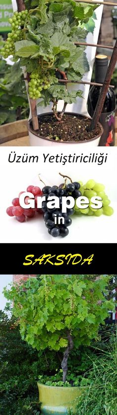 Growing Grapes in Containers is part of Garden - You don't need a big vineyard to grow grapes, you can do this even on your balcony in a pot Growing grapes in containers is not very complicated though it requires slight care and maintenance Check out! Fruit Garden, Edible Garden, Herb Garden, Garden Plants, Balcony Garden, Balcony Plants, Garden Web, Succulent Plants, Balcony Flowers