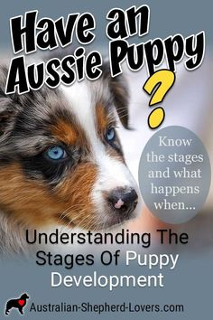 Understanding The Stages Of Puppy Development - Australian Shepherd Training Mini Aussie Puppy, Aussie Puppies, Best Puppies, New Puppy, Dogs And Puppies, Adorable Puppies, Husky Puppy, Cavapoo Puppies, Puppies Tips