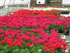 I love how full geraniums get! Remember: pruning promotes blooming!