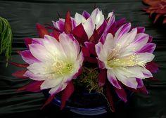 Cactus Epiphyllum Clown