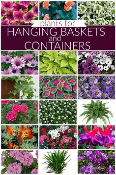 Choosing Plants for Hanging Baskets and designing them yourself is easier that ever before. Here are 18 plants to use in containers and hanging baskets. Container Herb Garden, Container Flowers, Container Plants, Garden Plants, Plants For Planters, Plant Containers, Potted Plants, Hanging Plants Outdoor, Plants For Hanging Baskets