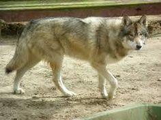 perro lobo . El perro fue el primer animal doméstico.