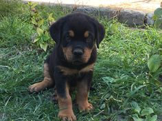 2 months rottweiler puppy #enzo Rottweiler Puppies, 2 Months, Dogs, Animals, Animais, Animales, Animaux, Pet Dogs, Doggies