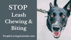 How to Stop Your Dog from Chewing on the Leash [Stop Leash Biting] How to stop your dog from chewing on the leash, stop dog chewing leash, how to stop dog chewing on leash, stop dog chewing the leash, stop puppy chewing leash, stop dog biting leash, stop puppy chewing leash, dog chewing leash, stop dog chewing lead, stop dog biting lead, stop dog biting leash, stop dog from biting leash, stop dog biting lead, stop puppy biting lead, dog biting leash, Dog Training, Puppy Training