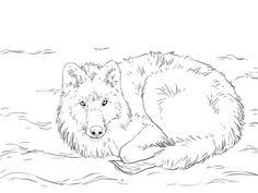 Vargar - Polarvarg som ligger i snön