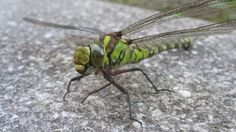 Macro shot of a giant Dragonfly