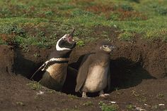 Magellanic Penguin (Spheniscus magellanicus) with chick emerging from burrow, Sea Lion Island, Falkland Islands