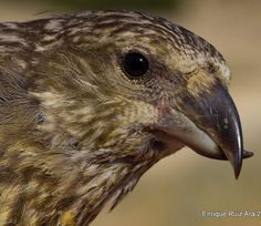 Piquituerto. Loxia curvirostra, Finches, Bird Art, Birds, Friends, Animales, Firs, Amigos, Bird, Boyfriends