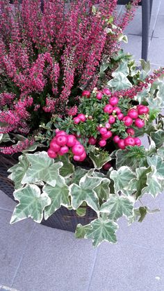 Marjakanerva, calluna ja muratti – Famous Last Words Growing Geraniums, Potted Geraniums, Red Geraniums, Container Flowers, Container Plants, Plant Design, Garden Design, Fall Containers, Fall Planters