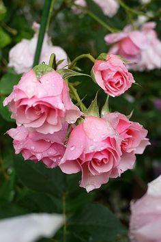 Shrub Rose: Rosa 'La Rose Bordeaux' (France, 2000)